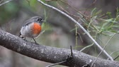 kanguru : Beautiful little Rose Robin, Petroica rosea