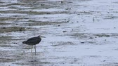 법안 : White-faced Heron, Egretta novaehollandiae, in sea