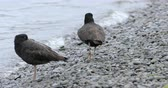 waterbirds : Pair of Variable Oystercatcher, Haematopus unicolor 4K Stock Footage