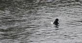 aquatic bird : Male Greater Scaup, Aythya marila, on the water 4K