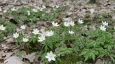 blooming : Wood Anemone