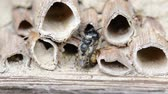 male animal : wild solitary bees (osmia bicornis) mating on insect hotel at springtime
