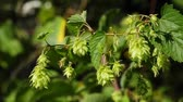 bitterness : hop Stock Footage