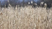 useful resources : field of of switch grass in wintertime Stock Footage