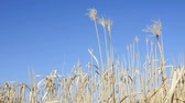 useful resources : bloom of of switch grass Stock Footage