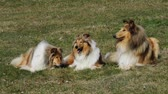 овчарка : Group of three collie dogs lying on a meadow Стоковые видеозаписи