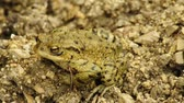 wart : Common toad Stock Footage