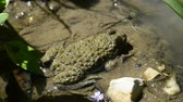 wart : Young toad sitting in a pond