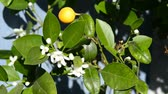 blossom : Kalamondin,blossom and fruit Stock Footage