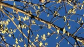 allergie : Haselnuss-Knospen im Winter Stock Footage