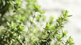 thyme : Thyme, spice and medicinal plant, closeup of the herb