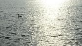 swan : Sunrise over the Baltic Sea with swimming swan