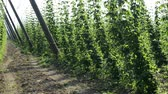 bitterness : Hop plantation in France Stock Footage