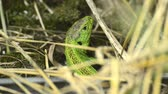 male animal : Common sand lizard Lacerta agilis in male colors Stock Footage