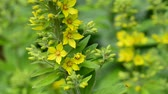 weather : Loosestrife Lysmachia vulgaris medieval medicinal plant with flower Stock Footage