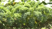 frondoso : Green kale in cultivation