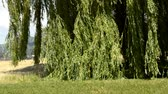 salgueiro : Babylon willow, Salix babylonica, in strong wind