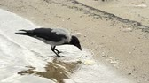 cornix : Hooded crow on a beach of the Baltic Sea Stock Footage