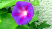 psicodélico : Morning glory ancient drug with flower