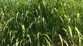 useful resources : switchgrass, renewable support for gas