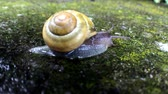 white lipped : White-lipped Snail on a wall