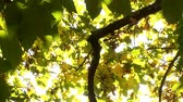 outono : Maple leaves glow in the autumn sun Stock Footage