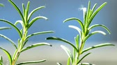 backlight : Rosemary in backlight Stock Footage
