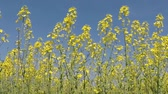 replacement : Rape field in bloom