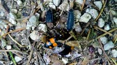 coleoptera : burying beetles working on a dead snail with other insects Stock Footage