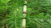 virág feje : wood horsetail, in spring in a german forest