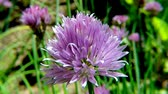 virág feje : Blooming chive, closeup of the flower of the kitchen herb