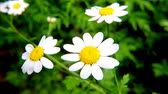 krizantem : Feverfew, Chrysanthemum parthenium, Medicinal her with flowers
