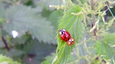 şanslı : Lady bug during reproduction