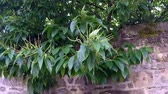 meyve : chestnut, fruit tree with blossom Stok Video