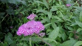 remedy : Spiraea, medicinal bush with flower