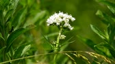 bylinný : Valerian, medicinal herb with flower