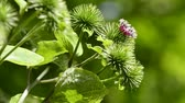 burr : Greater burdock, medicinal plant with flower in an herb garden