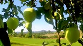 vitaminok : ripe apples on a tree in summertime