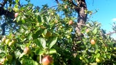 natura : ripe apples on a tree in summertime
