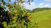 aparat fotograficzny : ripe apples on a tree in summertime