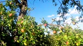 на камеру : ripe apples on a tree in summertime