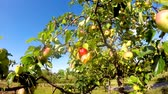 jedzenie : ripe apples on a tree in summertime