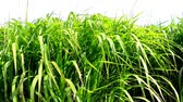 useful resources : switch grass, renewable support for gas Stock Footage
