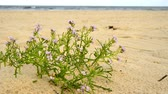 vacancy : sea ??lavender on a beach of the baltic sea