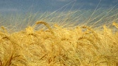 cultivating : Barley field in golden summer light