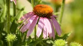 abbey : Purple cone flower, echinacea purpurea, medicinal plant with flower Stock Footage