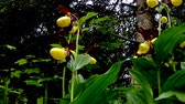 orchidea : lady slipper orchid, wildflower in Germany