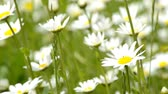 krizantem : Marguerite flowers in a meadow and swing with hair ribbon
