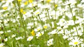 sedmikrásky : Marguerite flowers in a meadow in spring in Germany