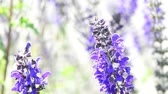 officinalis : Sage medicinal plant, flower and leaf